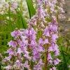 hyacintovec ruzovy hispanica pink 6