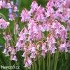 hyacintovec ruzovy hispanica pink 1