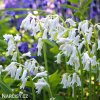 Ladonka hispanica white 5