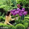 fialovy cesnek allium giganteum 3