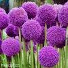 Česnek Allium Giganteum 2