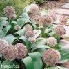 Allium Karatieviense3