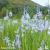 ladonik svetle modry camassia cusickii 3