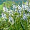 ladonik svetle modry camassia cusickii 5