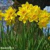 žlutý narcis carlton 2