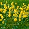 žlutý narcis carlton 3
