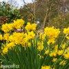 žlutý zakrslý narcis quaill 2