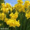 žlutý zakrslý narcis quaill 4