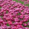 vinovy plnokvety tulipan dream touch 2