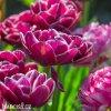 vinovy plnokvety tulipan dream touch 3