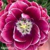 vinovy plnokvety tulipan dream touch 4