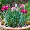 vinovy plnokvety tulipan dream touch 5