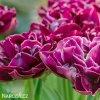 vinovy plnokvety tulipan dream touch 6