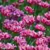 vinovy plnokvety tulipan dream touch 7