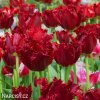 cerveny trepenity tulipan pacific pearl 8