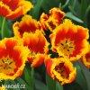cervenozluty trepenity tulipan davenport 2