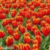 cervenozluty trepenity tulipan davenport 3