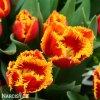 cervenozluty trepenity tulipan davenport 4