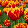 cervenozluty trepenity tulipan davenport 5