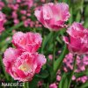 ruzovy trepenity tulipan fancy frills 6
