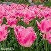 ruzovy trepenity tulipan fancy frills 8