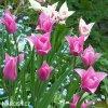 ruzovy tulipan china pink 2