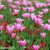 ruzovy tulipan china pink 4