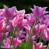 ruzovy tulipan china pink 5