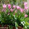 ruzovy tulipan china pink 7