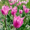 ruzovy tulipan china pink 8