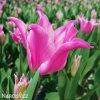 ruzovy tulipan china pink 9