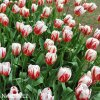 bilocerveny tulipan Triumph Carnaval de Rio 2