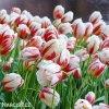 bilocerveny tulipan Triumph Carnaval de Rio 3