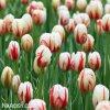 bilocerveny tulipan Triumph Carnaval de Rio 5