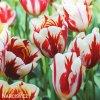bilocerveny tulipan Triumph Carnaval de Rio 6