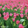 ruzovobily tulipan triumph dynasty 2