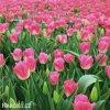 Tulipán Triumph Dynasty 2