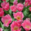 ruzovobily tulipan triumph dynasty 3