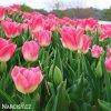 ruzovobily tulipan triumph dynasty 5