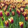 cervenozluty tulipan triumph gavota 2