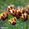 cervenozluty tulipan triumph gavota 3