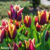 cervenozluty tulipan triumph gavota 5