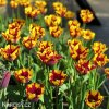 Tulipán Triumph Helmar 3