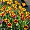 zlutocerveny tulipan triumph helmar 2