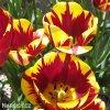 zlutocerveny tulipan triumph helmar 3