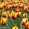 zlutocerveny tulipan triumph helmar 4
