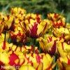 zlutocerveny tulipan triumph helmar 5