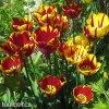 zlutocerveny tulipan triumph helmar 6