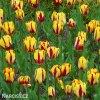 zlutocerveny tulipan triumph helmar 7