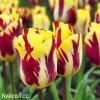 zlutocerveny tulipan triumph helmar 0